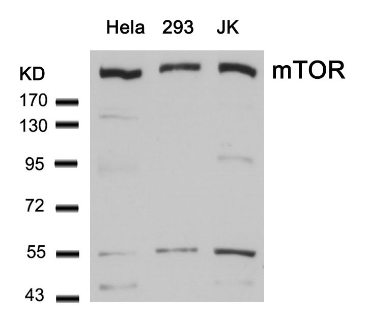 Polyclonal Antibody to mTOR (Ab-2448)