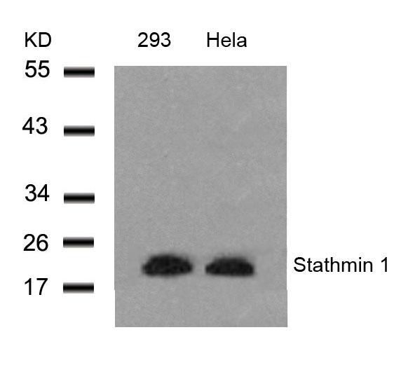 Polyclonal Antibody to Stathmin 1 (Ab-25)