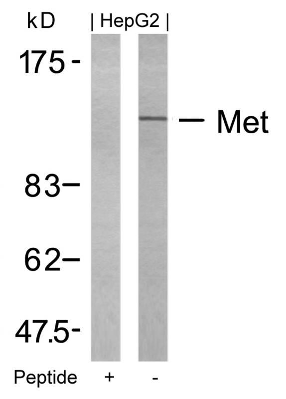 Polyclonal Antibody to Met (Ab-1234)