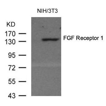 Polyclonal Antibody to FGF Receptor 1 (Ab-154)