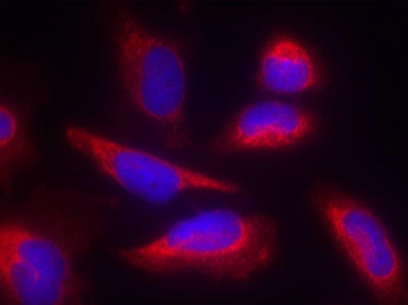 Polyclonal Antibody to eNOS (Ab-495)