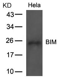 Polyclonal Antibody to BIM (Ab-69)