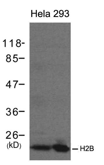 Polyclonal Antibody to H2B
