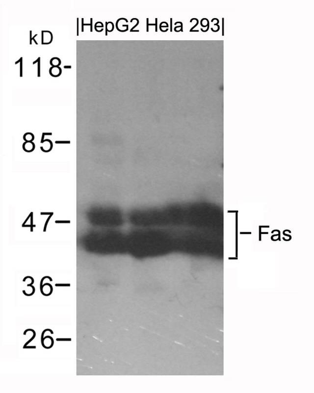 Polyclonal Antibody to Fas