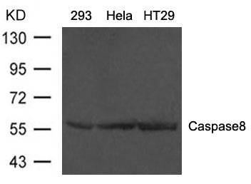 Polyclonal Antibody to Caspase8