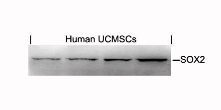 Polyclonal Antibody to SOX2