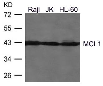 Polyclonal Antibody to MCL1