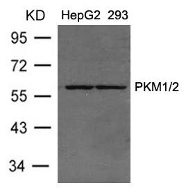 Polyclonal Antibody to PKM1/2