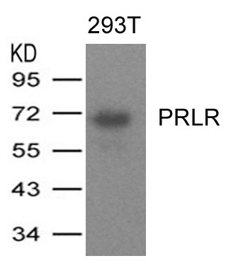 Polyclonal Antibody to PRLR
