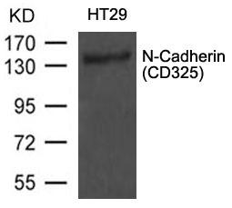 Polyclonal Antibody to N-Cadherin(CD325)