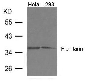 Polyclonal Antibody to Fibrillarin