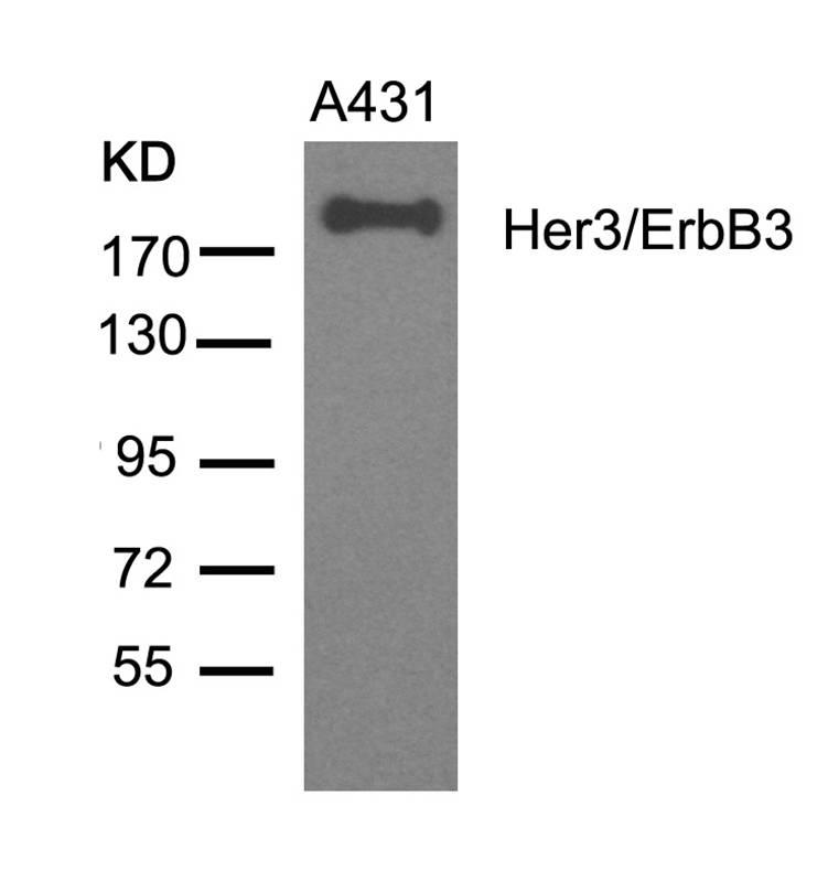 Polyclonal Antibody to Her3/ErbB3 (Ab-1328)