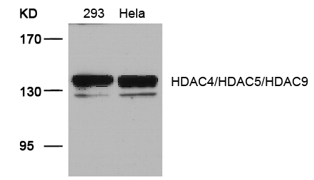 Polyclonal Antibody to HDAC4/HDAC5/HDAC9 (Ab-246/259/220)