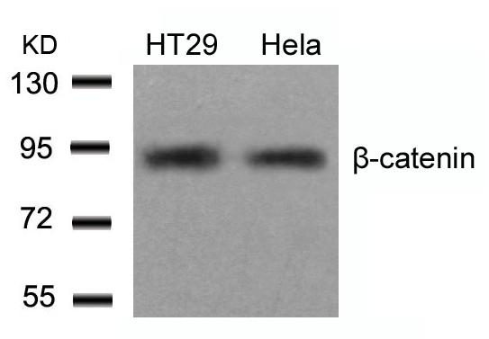 Polyclonal Antibody to beta-Catenin (Ab-654)