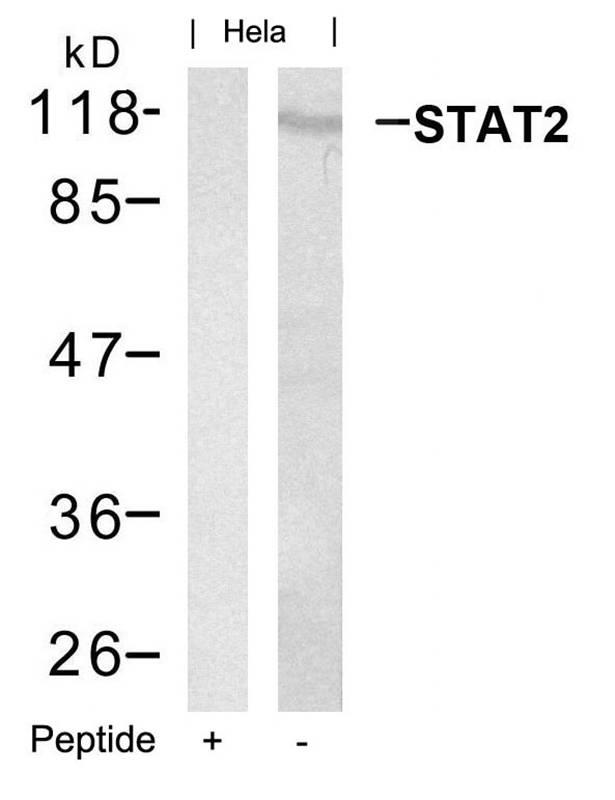 Polyclonal Antibody to STAT2 (Ab-690)