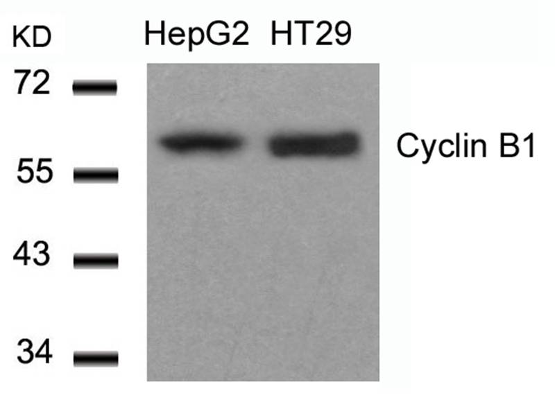 Polyclonal Antibody to Cyclin B1 (Ab-147)