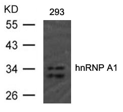 Polyclonal Antibody to hnRNP A1 (Ab-192)