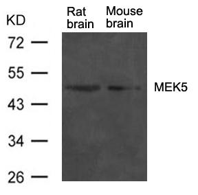 Polyclonal Antibody to MEK5