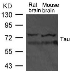 Polyclonal Antibody to Tau