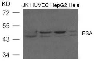 Polyclonal Antibody to ESA (FLOT2)