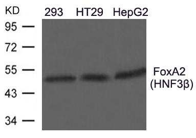 Polyclonal Antibody to FoxA2(HNF3beta)