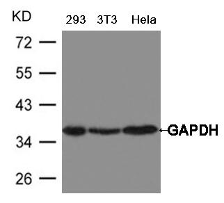Polyclonal Antibody to GAPDH