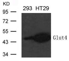 Polyclonal Antibody to Glut4