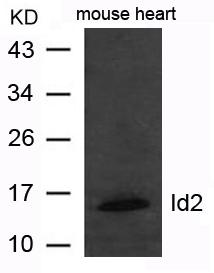 Polyclonal Antibody to Id2