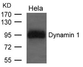 Polyclonal Antibody to Dynamin 1
