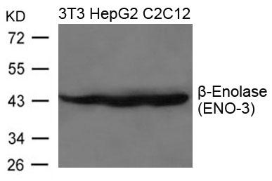 Polyclonal Antibody to beta-Enolase(ENO-3)