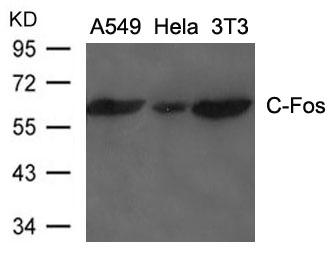 Polyclonal Antibody to C-Fos
