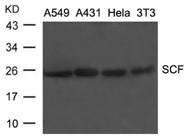 Polyclonal Antibody to SCF