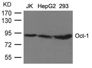 Polyclonal Antibody to OCT1