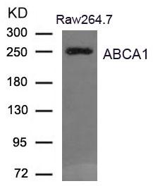 Polyclonal Antibody to ABCA1