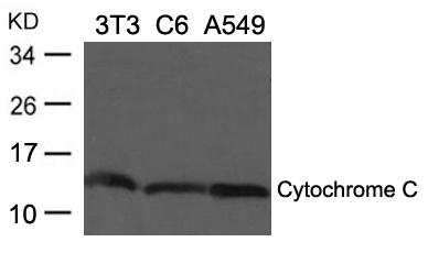 Polyclonal Antibody to Cytochrome C