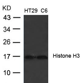 Polyclonal Antibody to Histone H3 (Ab-27)
