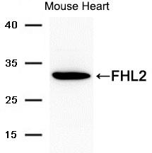 Polyclonal Antibody to FHL2