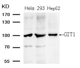 Polyclonal Antibody to GIT1 (Ab-383)