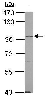 ACE2 Antibody