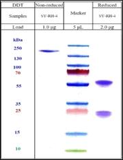 COVID-19 (Sars-Cov-2/ nCov) Spike RBD Antibody (Humanized)