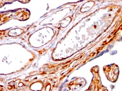 Monoclonal Antibody to Moesin(Clone : SPM562)