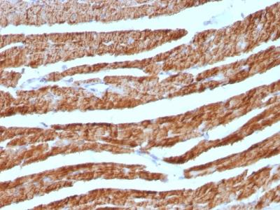 Monoclonal Antibody to Cytochrome C (Mitochondrial Marker)(7H8.2C12 + CYCS/1010)