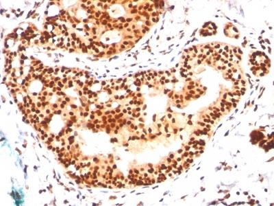 Monoclonal Antibody to SUMO-2/3(Clone : SM23/496)