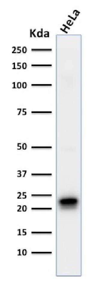 Anti-Ferritin, Heavy Chain (FTH) (Microglia Marker) Monoclonal Antibody(Clone: FTH/2081)