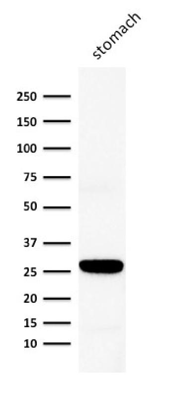 Anti-Connexin 32 (Gap Junction Protein) Monoclonal Antibody(Clone: M12.13)