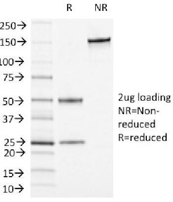 Anti-CD13 / Aminopeptidase-N (Myeloid Cell Marker) Monoclonal Antibody(Clone: APN/1464)