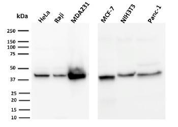 Anti-PD-L1 / PDCD1LG1 / CD274 / B7-H1 (Cancer Immunotherapy Target) Monoclonal Antibody(Clone: PDL1/2744)