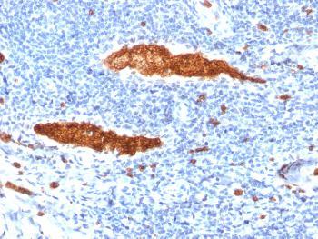 Anti-Glycophorin A / CD235a (Erythrocyte Marker) Monoclonal Antibody(Clone: JC159)