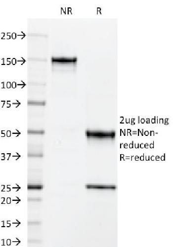 Anti-CD50 / ICAM3 Monoclonal Antibody(Clone: 101-1D2)