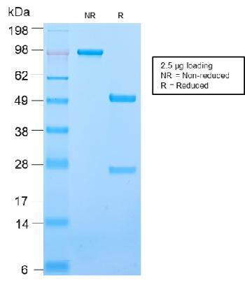 Anti-CD50 / ICAM3 Monoclonal Antibody(Clone: ICAM3/2873R)